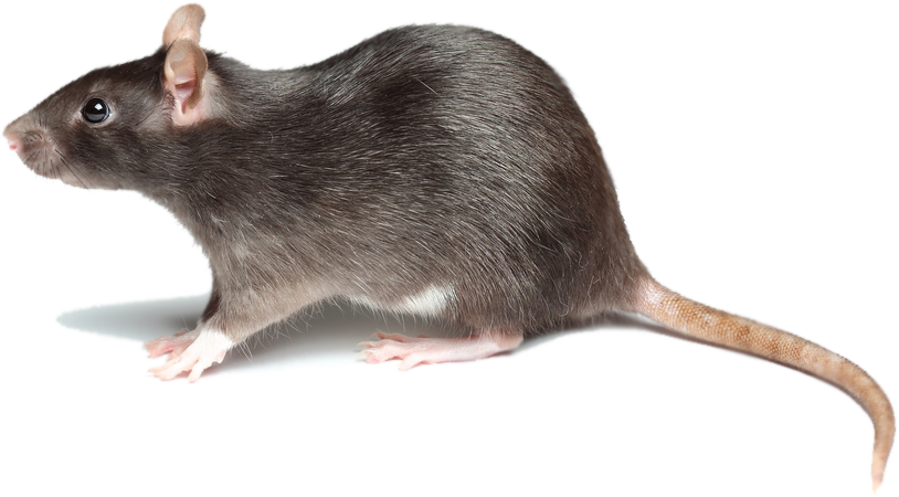 rat1depositphotos19232319s-1433962240