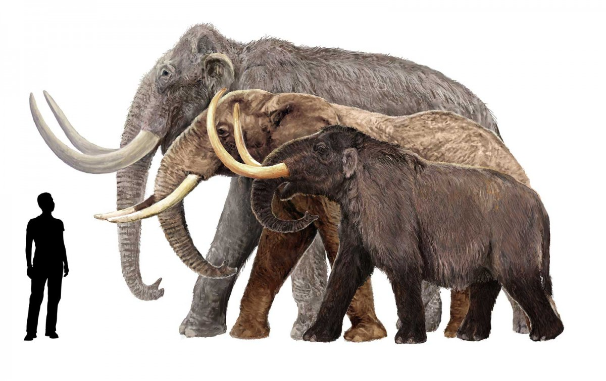 Different species of mammoth in comparison to man. Photo: tigerseyeimports