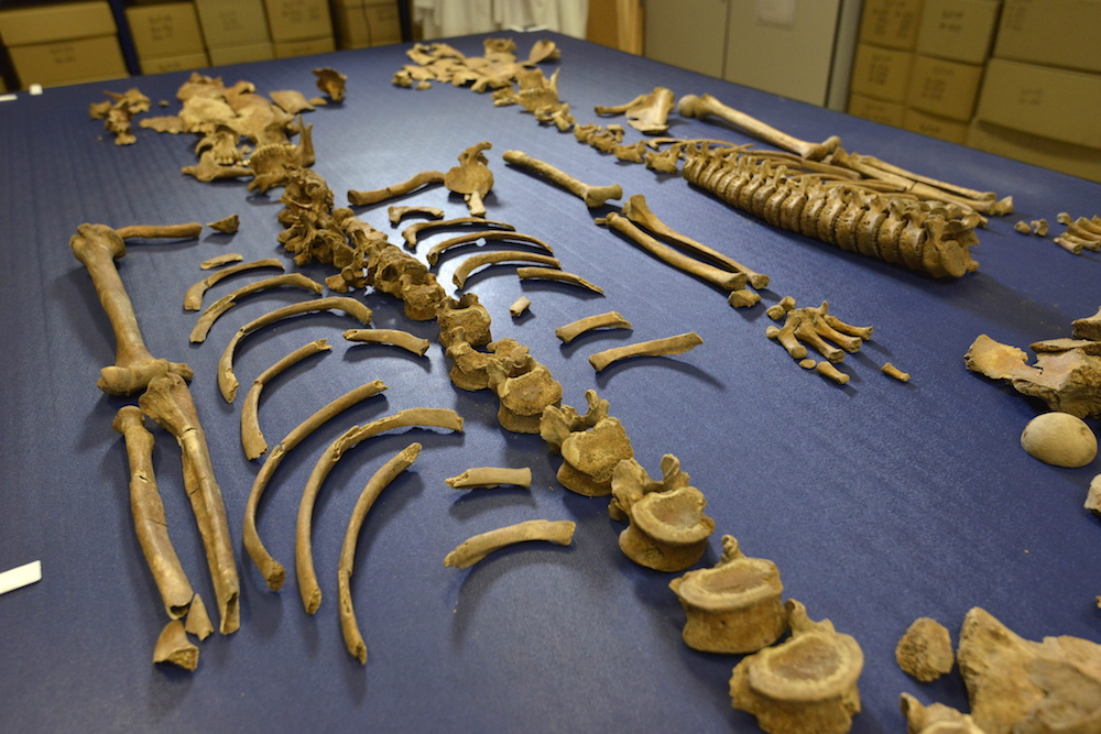 Dated: 19/08/15 Tests have revealed skeletons found in Durham City UNESCO World Heritage Site are 17th century Scottish soldiers. This picture shows some of the remains. #NorthNewsAndPictures/2daymedia