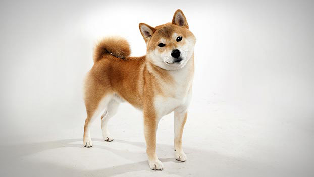 The Shibu Inu may be descended from some of man's oldest best friends [PHOTO: animal.discovery.com]