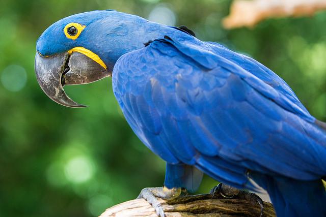 Hyacinth Macaw Photo: thegreengadfly
