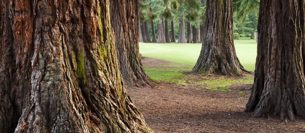 (Sequoias in England | source: nationaltrust.org.uk)